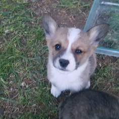 Pembroke Welsh Corgi Puppy For Sale in BLISS, ID, USA