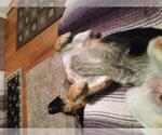 Small #911 German Shepherd Dog