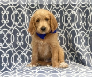 Labradoodle Puppy for sale in LAKELAND, FL, USA
