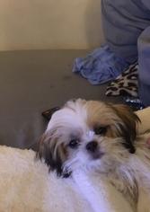 Mal-Shi Dog for Adoption in MIDDLETOWN, New York USA