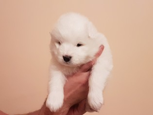 Samoyed Puppy For Sale in LOS ANGELES, CA