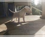 Puppy 1 Bull Terrier
