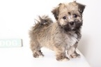 Havanese Puppy For Sale in NAPLES, FL,