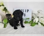 Puppy 6 Labradoodle
