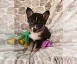 Puppy 3 Pomsky