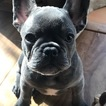 French Bulldog Puppy For Sale in CITY INDUSTRY, CA, USA