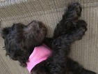 Goldendoodle Puppy For Sale in GALLION, AL, USA