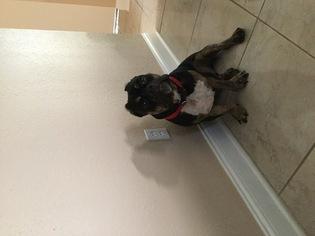 American Bandogge Puppy For Sale in ORLANDO, FL, USA