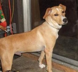 Thunder - Labrador Retriever / Black Labrador Retriever / Mixed Dog For Adoption