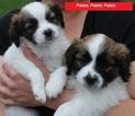 Cava-lon Puppy For Sale in FLINT, MI