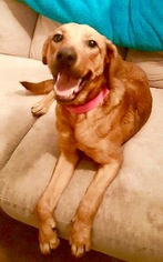 Golden Retriever-Unknown Mix Dogs for adoption in HOUSTON, TX, USA