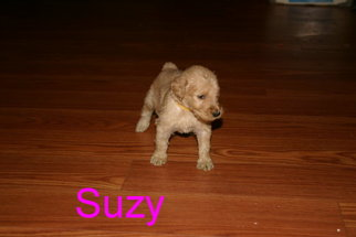 Goldendoodle Puppy for sale in DAVENPORT, FL, USA