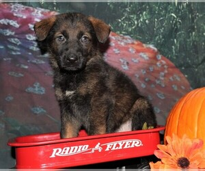 German Shepherd Dog Puppy for Sale in INDEPENDENCE, Missouri USA