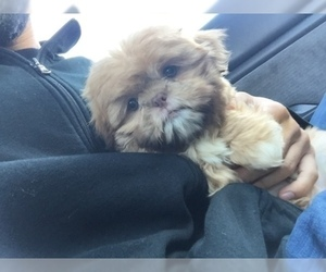 Father of the Shih Tzu puppies born on 12/25/2019