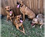Small Photo #16 Collie-Dogue de Bordeaux Mix Puppy For Sale in Dallas, TX, USA