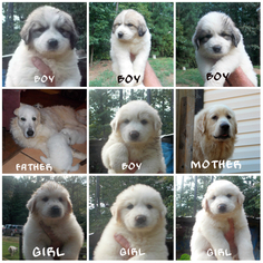 Great Pyrenees Puppy For Sale in ELLIJAY, GA