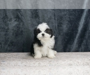 Mal-Shi Puppy for Sale in WARSAW, Indiana USA
