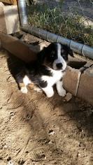 Australian Shepherd Puppy For Sale in CHATSWORTH, CA, USA