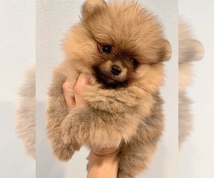 Pomeranian Puppy for Sale in OCOEE, Florida USA