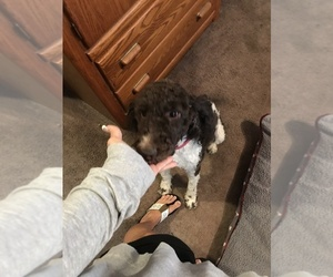 Poodle (Standard) Puppy for sale in WRIGHT CITY, MO, USA