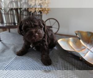 Schnoodle (Miniature) Puppy for sale in KALAMAZOO, MI, USA