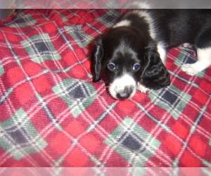 Dachshund Puppy for sale in TENINO, WA, USA