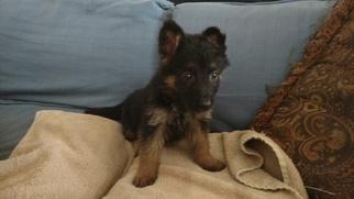 German Shepherd Dog Puppy For Sale in JEFFERSON, SC