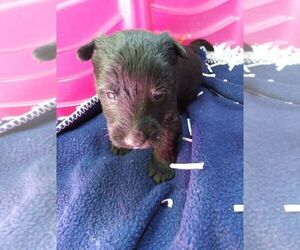 Scottish Terrier Puppy for sale in WHITEWOOD, SD, USA