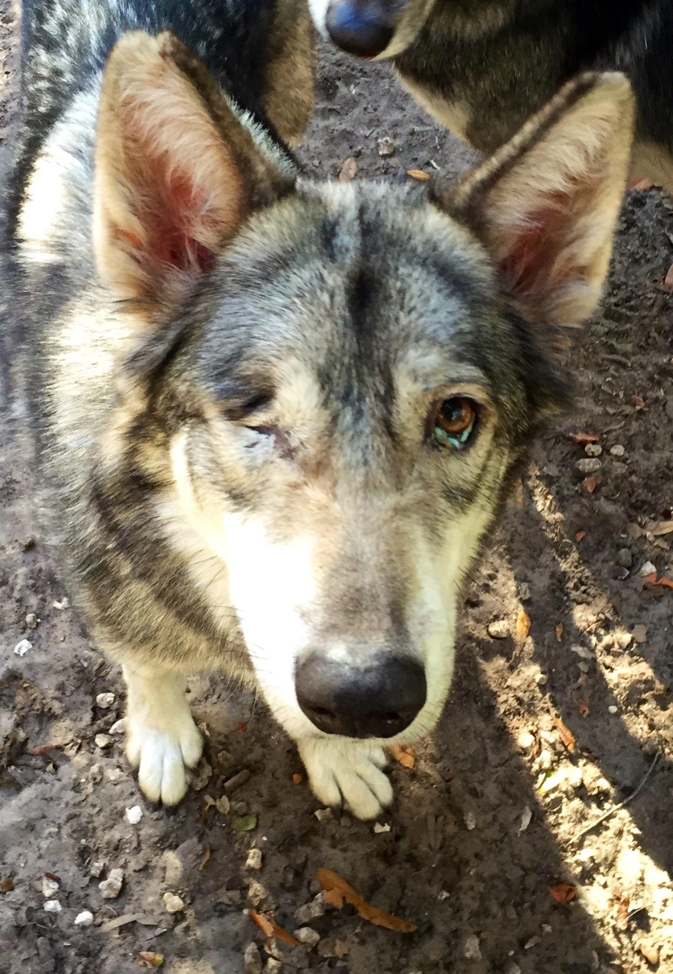 View Ad: Gerberian Shepsky Mix Dog for Adoption, Florida ...