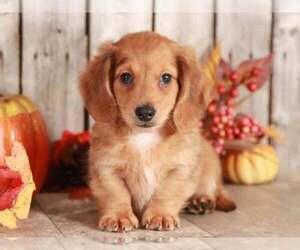 Dachshund Dog for Adoption in MOUNT VERNON, Ohio USA
