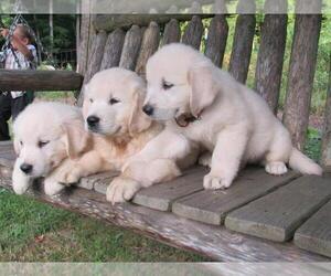 English Cream Golden Retriever Puppy for sale in MILLVILLE, MA, USA