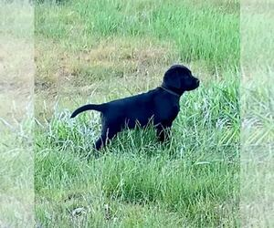 Labrador Retriever Puppy for sale in CHENEY, WA, USA