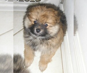 Pomeranian Puppy for sale in SEBASTIAN, FL, USA