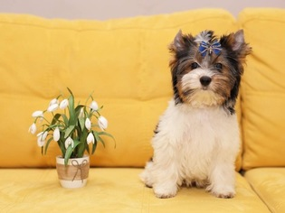 Biewer Terrier Puppy for sale in SALEM, OR, USA