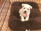 West Highland White Terrier Puppy For Sale in LOUISVILLE, KY,