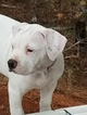American Bulldog Puppy For Sale in CLARKS HILL, SC,
