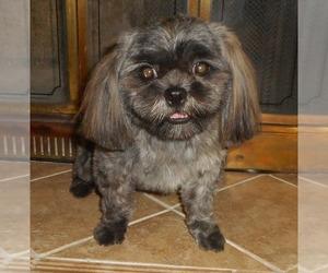 Shih Tzu Puppy for sale in DIXON, IL, USA
