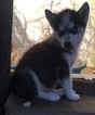 Siberian Husky Puppy For Sale in GOWER, MO, USA