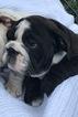 English Bulldog Puppy For Sale in LUTZ, Florida,