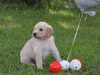 Goldendoodle Puppy For Sale in LIVE OAK, Florida,