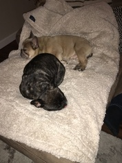 Mother of the French Bulldog puppies born on 11/16/2018