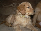Goldendoodle Puppy For Sale in ABINGTON, PA
