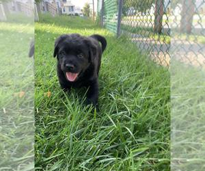 Labrador Retriever Dog for Adoption in PAWTUCKET, Rhode Island USA