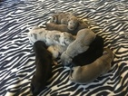 Great Dane Puppies 3 male 2 female
