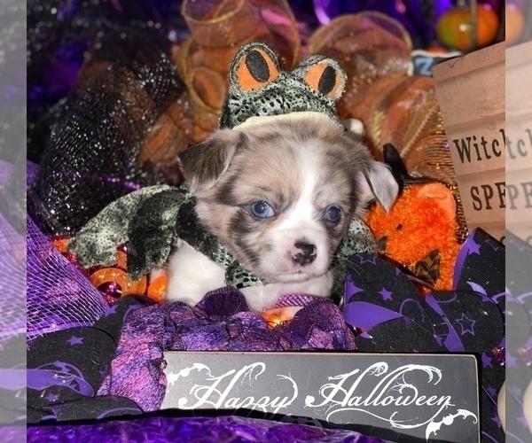 Medium Photo #23 Bullhuahua-Chihuahua Mix Puppy For Sale in RAWSONVILLE, MI, USA