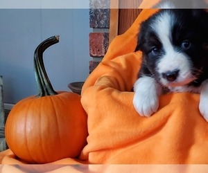 Australian Shepherd Puppy for Sale in OAK GROVE, Missouri USA