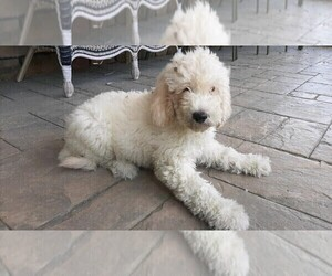 Goldendoodle Puppy for sale in WESTLAND, MI, USA