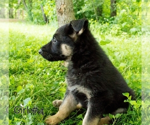 German Shepherd Dog Dog for Adoption in LAKEVILLE, Ohio USA