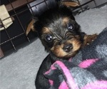 Small #6 Yorkshire Terrier