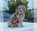 Small #1 English Springer Spaniel-Poodle (Miniature) Mix